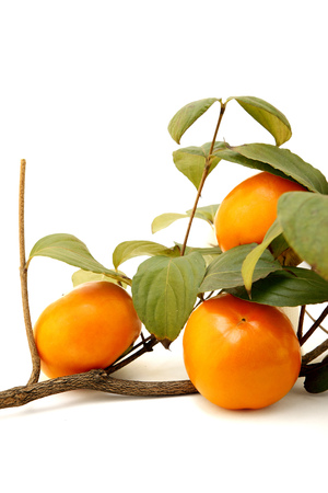 Hard persimmons with a tree branch - isolated on white