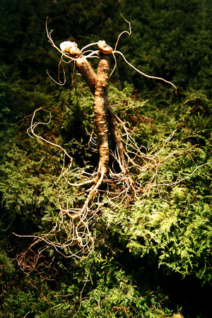 Ginseng displayed with herbs