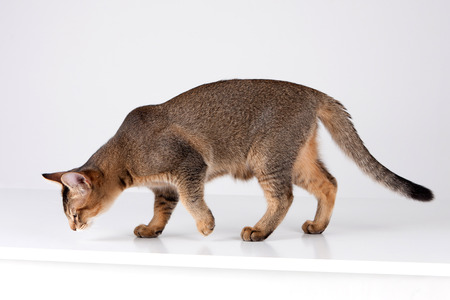 Pets - A cat sniffing as standing in white background studio Stock Photo