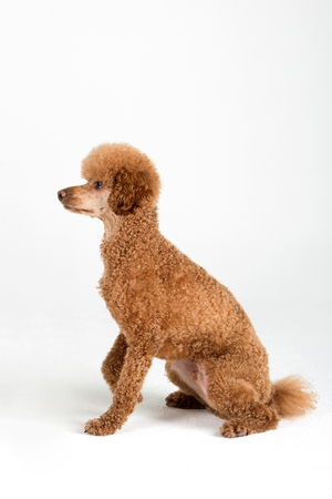 Pets - A brown dogpoodle sitting down in white background studio Stock Photo