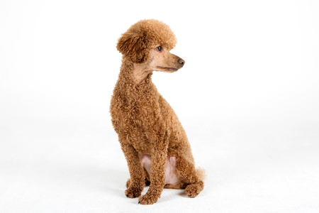 companions: Pets - A brown dogpoodle sitting down in white background studio Stock Photo