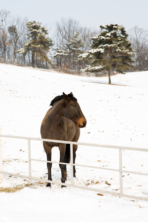 Close up shot of horses in the snowy pasture field Stock Photo