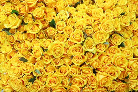 Flower pattern shot in studio/background/wallpaper - Full shot of yellow roses Stockfoto