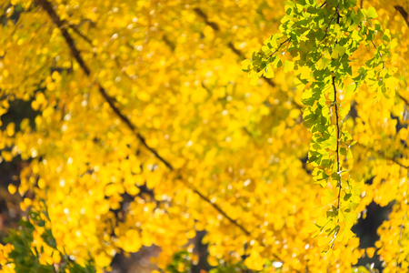 Autumn forest - close up shot of yellow ginkgo trees lined up