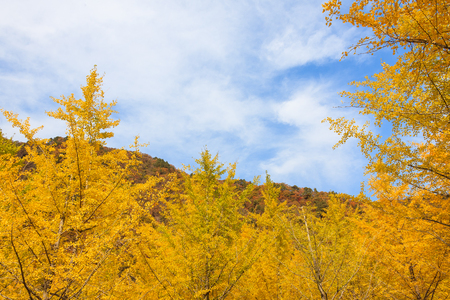 Autumn forest - yellow ginkgo trees under the blue sky Stock Photo