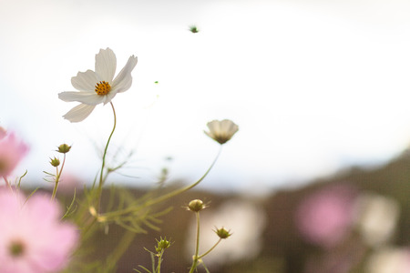 Fall atmosphere - wild cosmos flowers Stock Photo