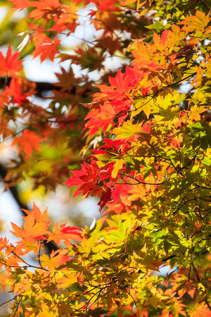 Autumn forest - close up shot of korean maple trees
