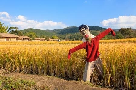 espantapajaros: Scenery of rice field with guarding scarecrow under the blue sky