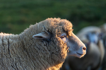 Close up shot of a sheep standing in sun rays at sunset Archivio Fotografico