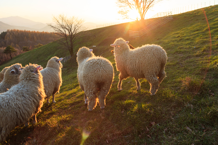A farm collie gathering flock of sheep together at sunset