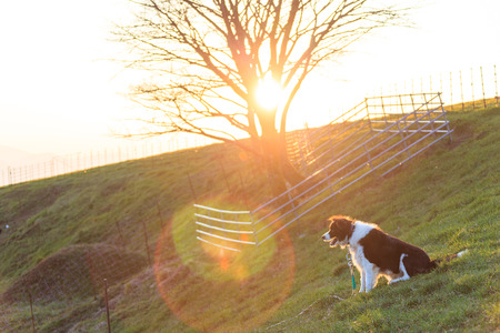 A farm collie sitting in a field at sunset