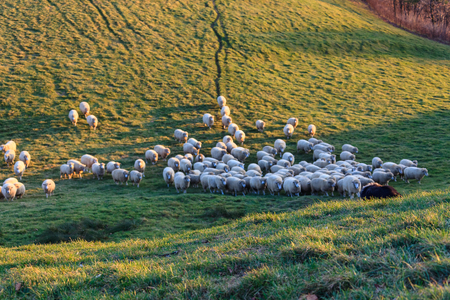 fenced in: Aerial shot of flock of sheep and a farm collie in fenced green field at sunset