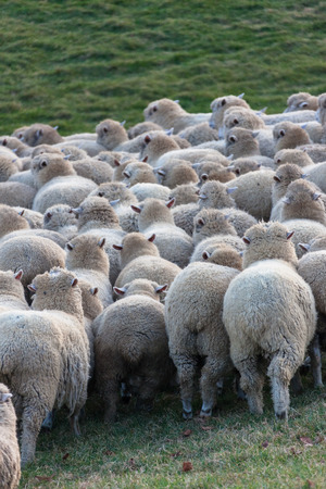Close up shot of flock of sheep gathering together in a green field to go back home at sunset Standard-Bild
