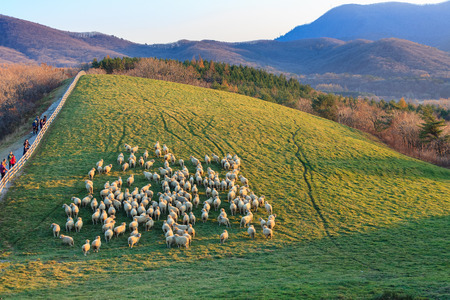 Aerial shot of flock of sheep standing in lines in a green field