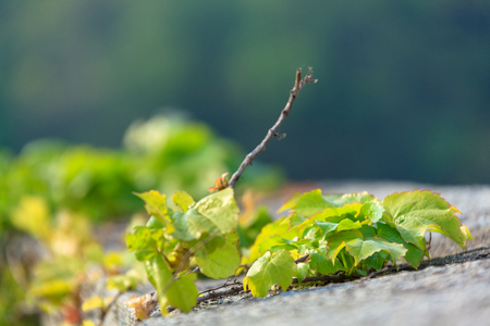 Close up shot of ivy growing on fortress Stock Photo