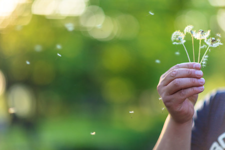 wind blown: Isolated shot of a hand holding dandelions with pappus flying away Stock Photo
