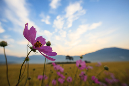 Scenery of rice field with cosmos at sunset