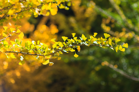 Close up shot of green ginkgo tree leaves turning into yellow
