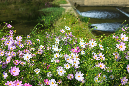 Cosmos bushes near stream