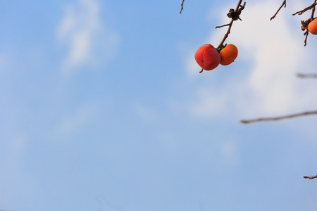 Persimmon trees and autumn sky