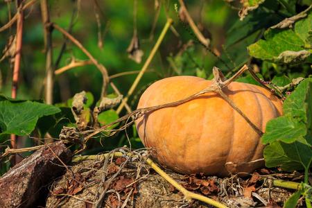 Yello pumpkin and vines on rock wall
