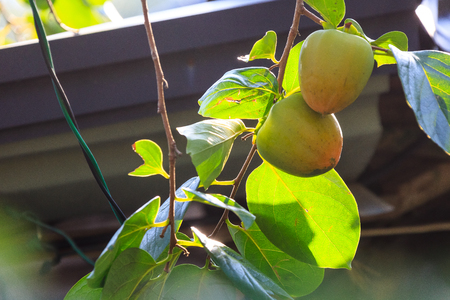 Green persimmon on the tree