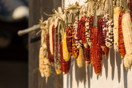 Corn being sun-dried as hanging on a rack