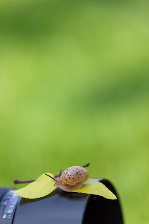 Pet snail-Snail sleeping as sitting on a camera and leaf