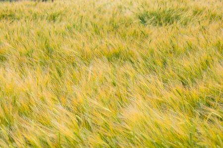 Slow city island-Green barley field Imagens