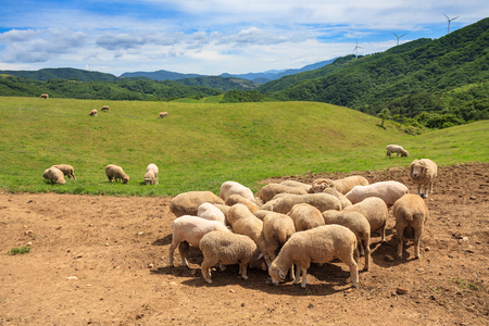 Flock of sheep grazing as gathering together Stock Photo
