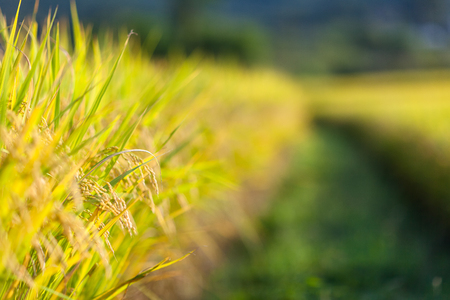 Close up shot of rice field