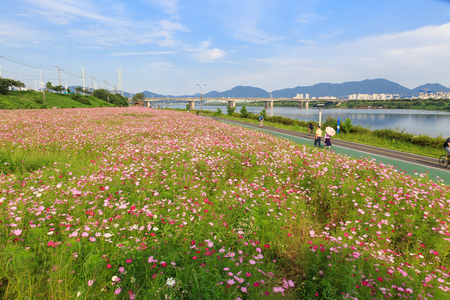 Scenery of cosmos field