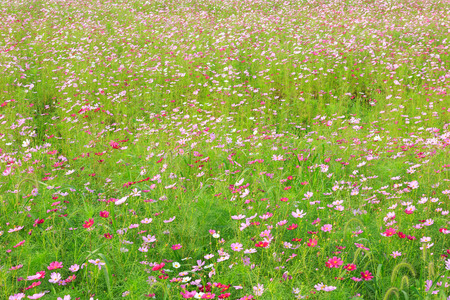 Close up shot of cosmos field