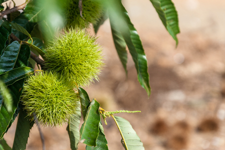Close up shot of Chestnut tree
