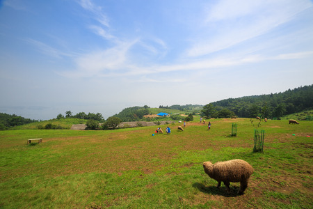 Scenery of grass field where people and flock of sheep hanging out together Stock Photo