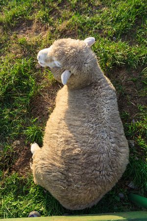 Close up shot of sheep taking a rest on grass field