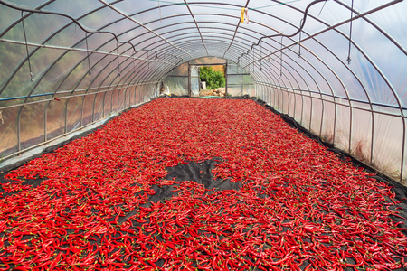 Red peppers being dried as laid in the greenhouse