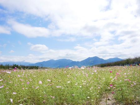 Fall scenery - Cosmos flower field