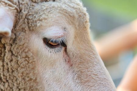 Sheep in the farm Stock Photo