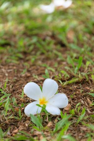 Plumeria flower on the ground