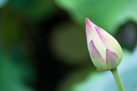 landscape: Lotus on a pond