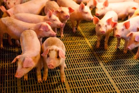 Piglets in pig farm