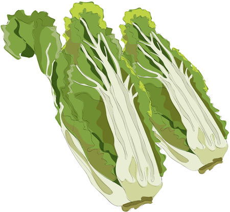 Painting of Chinese cabbage