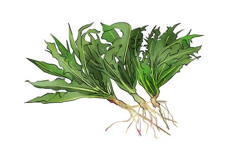 A kind of herbs illustration