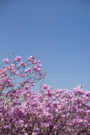 Wiosna krajobraz z wiosennych kwiatów Kwitnie malowniczych. Kwitnące gałązki rododendronów, forsycji, kwiatów wiśni 029
