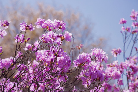 Spring landscape with Spring Flowers Blooms scenic. Blossoming branches of rhododendron, forsythia, cherry flowers 015