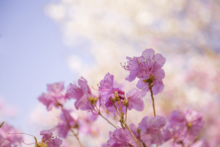 Spring landscape with Spring Flowers Blooms scenic. Blossoming branches of rhododendron, forsythia, cherry flowers 044 Stock Photo