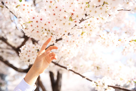 Fully enjoy cherry blooming tree in spring time 048