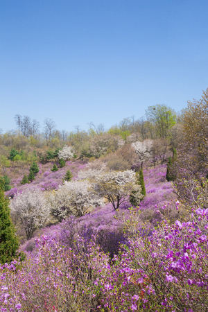 Spring landscape with Spring Flowers Blooms scenic. Blossoming branches of rhododendron, forsythia, cherry flowers 075