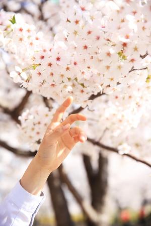 Fully enjoy cherry blooming tree in spring time 049 版權商用圖片